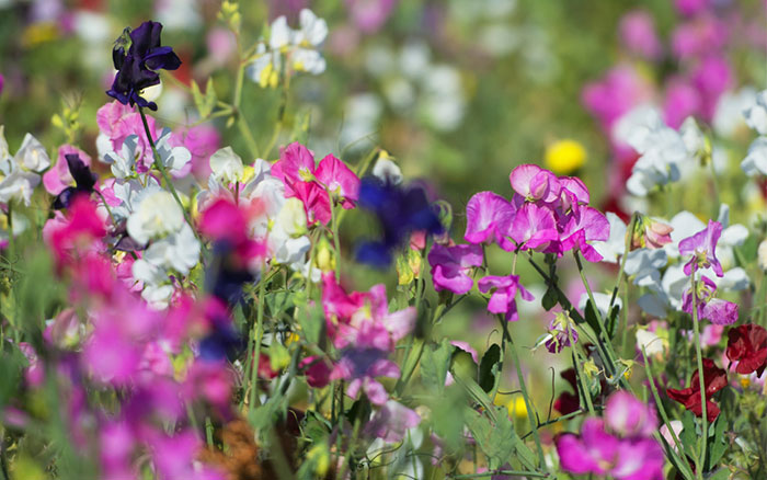 Top 10 plants for a modern cottage garden david domoney for Cottage garden plants